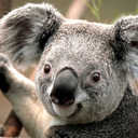 Small koala