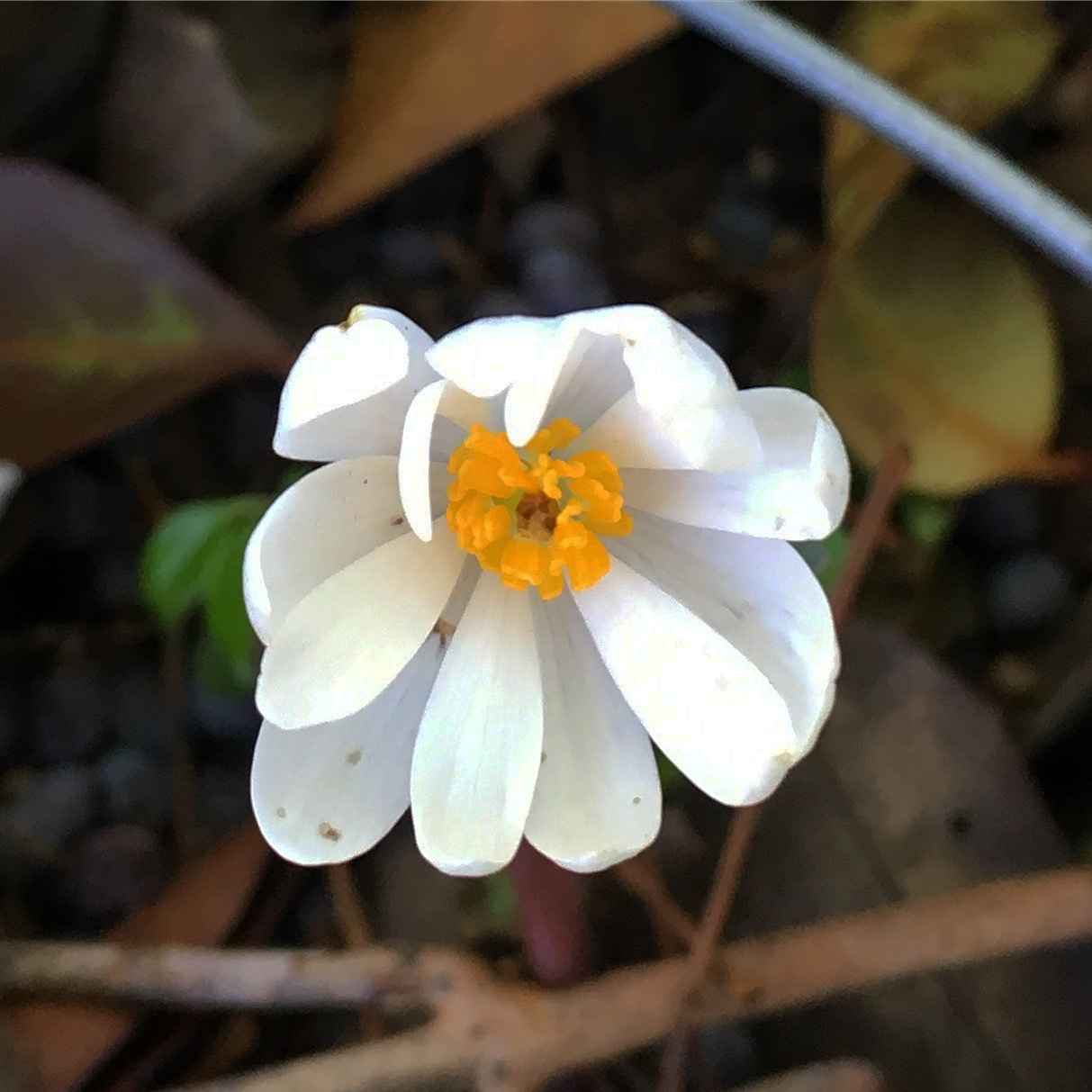 Native Plants of the Southern Appalachia with Maxine Appleby image