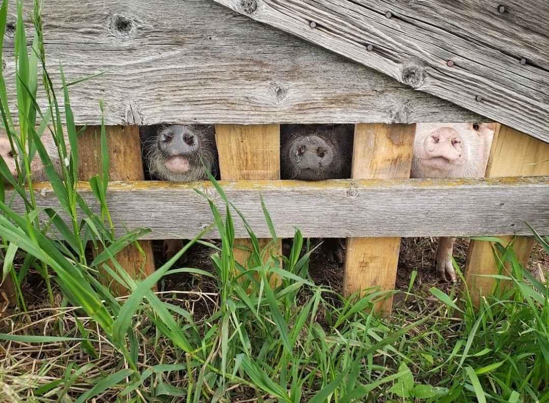My Pig Filled Life 2020 Calendar image