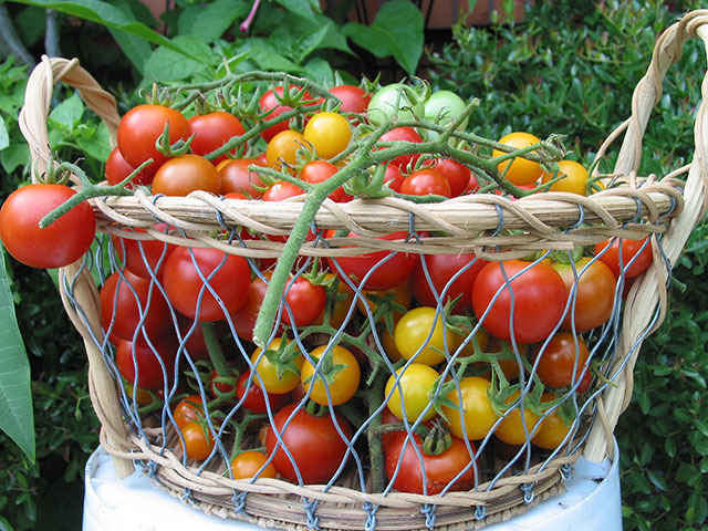Web Education: Growing Tomatoes (Scroll down to view description) image