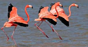 Pink Birds of the Everglades: Studies of Roseate Spoonbills and American Flamingos  image