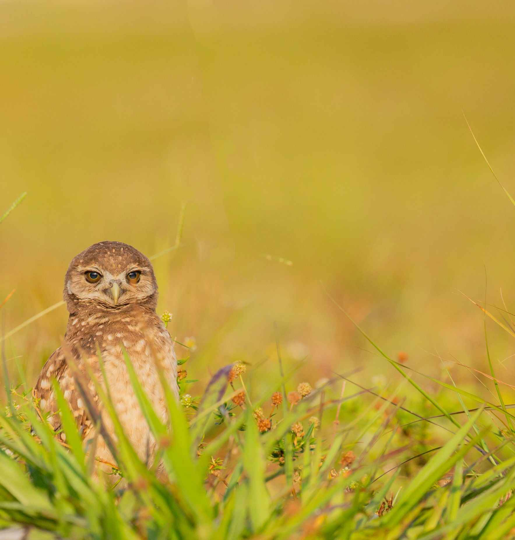 Burrowing Owl Class of 2019: Nesting Results and Program Overview image