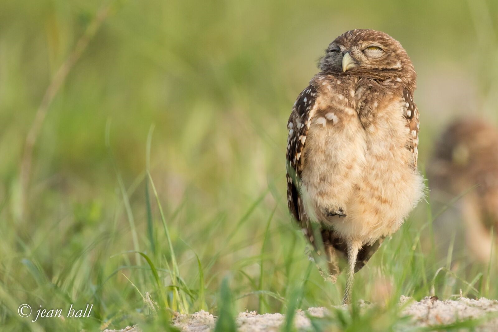Burrowing Owl Class of 2019: Nesting Results  image