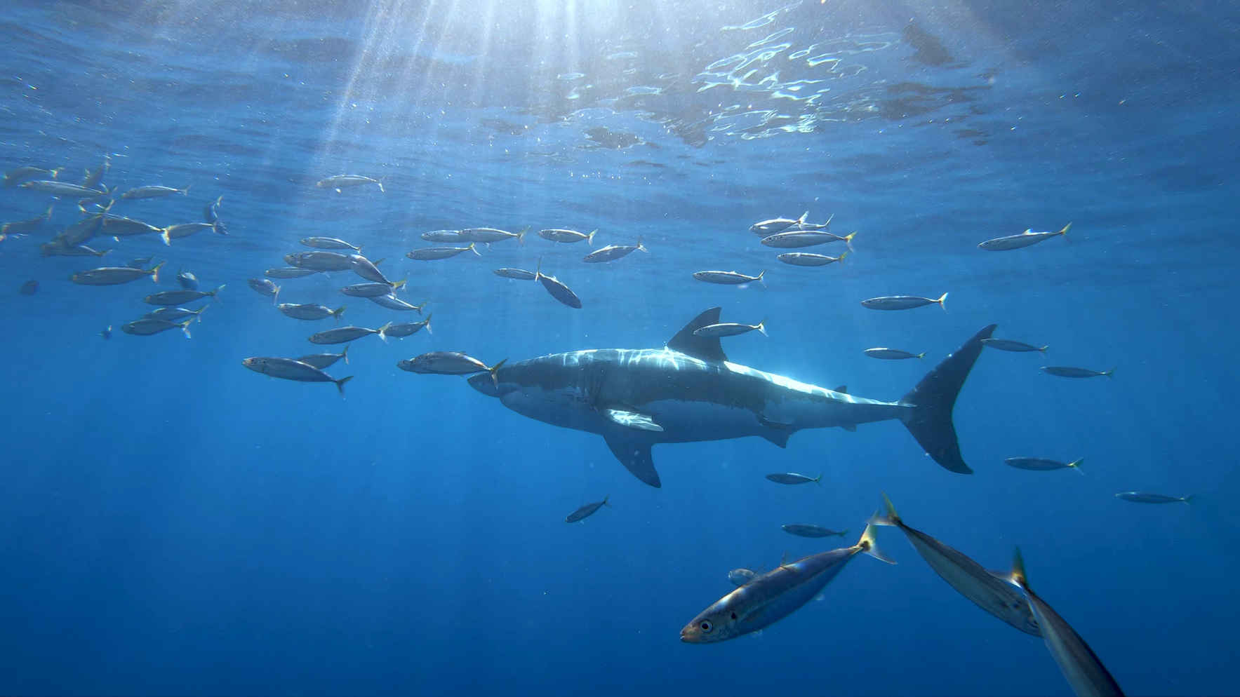 Are you ready for shark season?  White sharks off southern California beaches – the new normal image