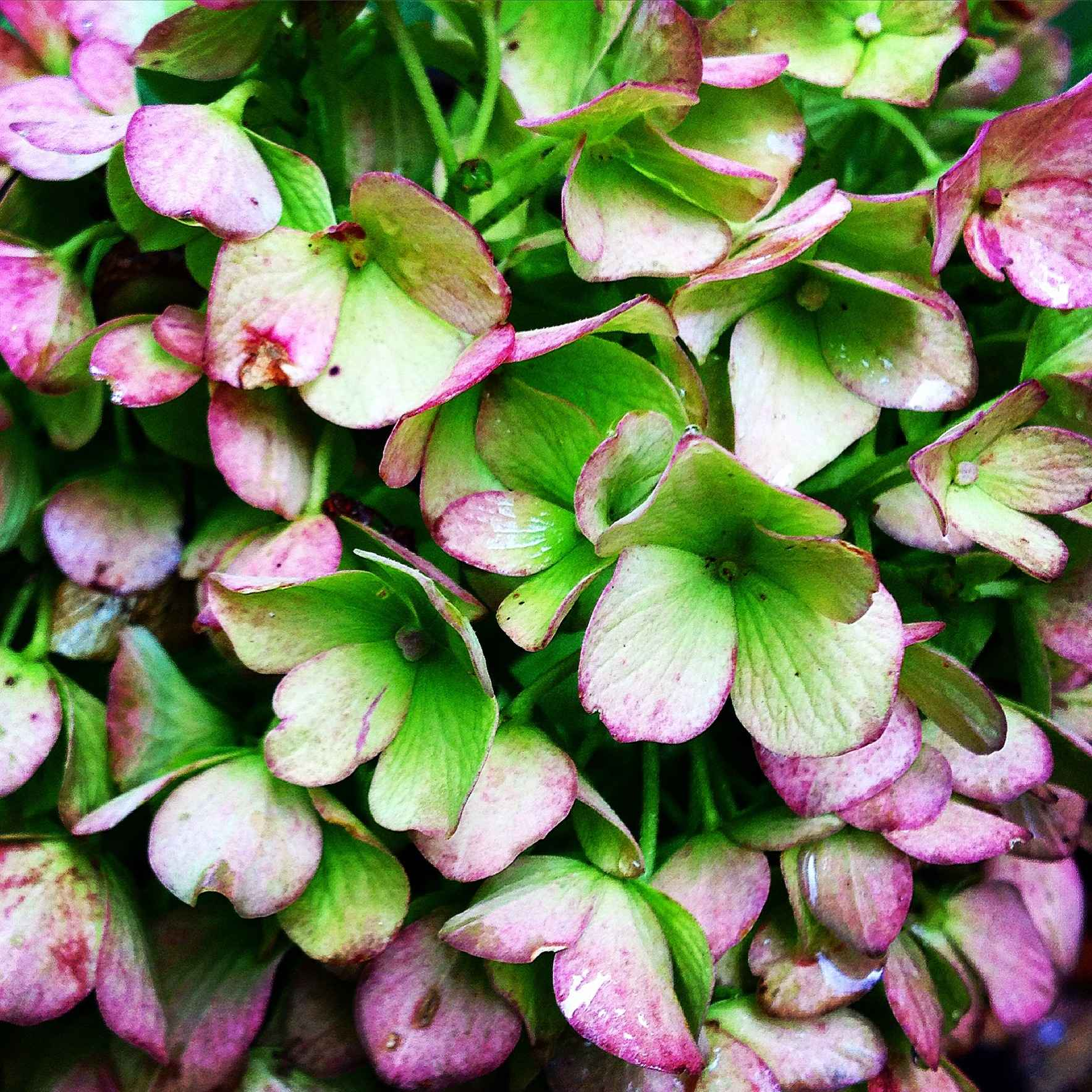 How to Grow and Cultivate Hydrangeas image