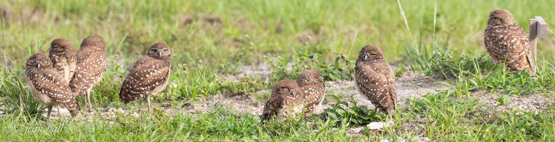 NEW  Burrowing Owl Walking Tours image
