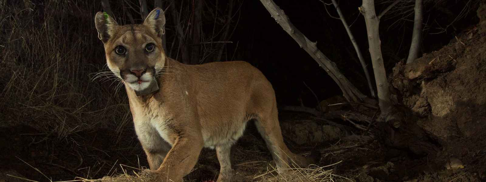 Mountain Lion Foundation  Events and Webinars image