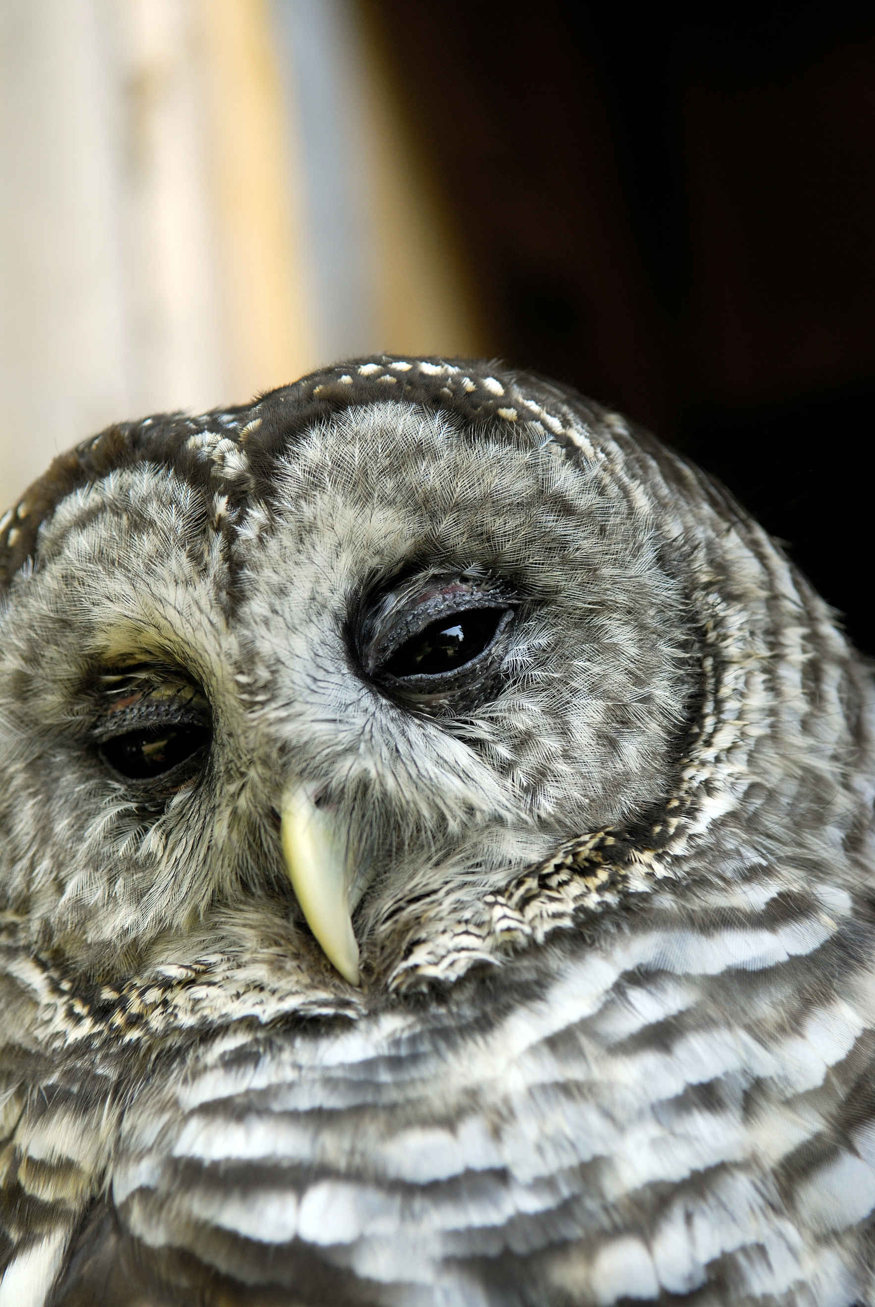 Whoooo is Oberon the Owl? An event for the whole family with NorthWoods Stewardship Center's Feathered Friend image