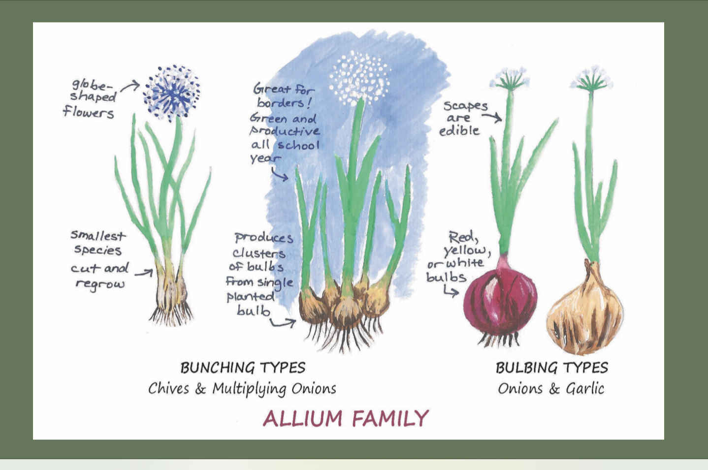 Tips for Growing Onions and Garlic image