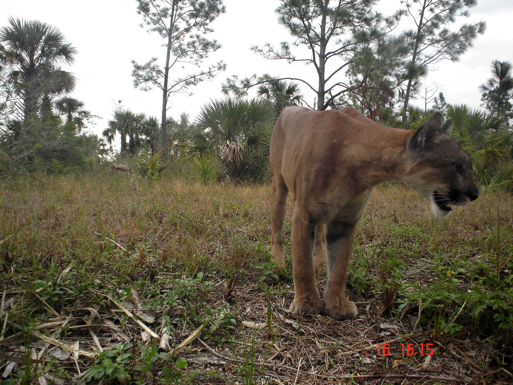 Florida Panther 101 with Panther Outreach Specialist, Ashlee O'Connor image