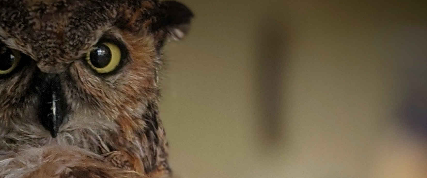Adopt a Great Horned Owl image