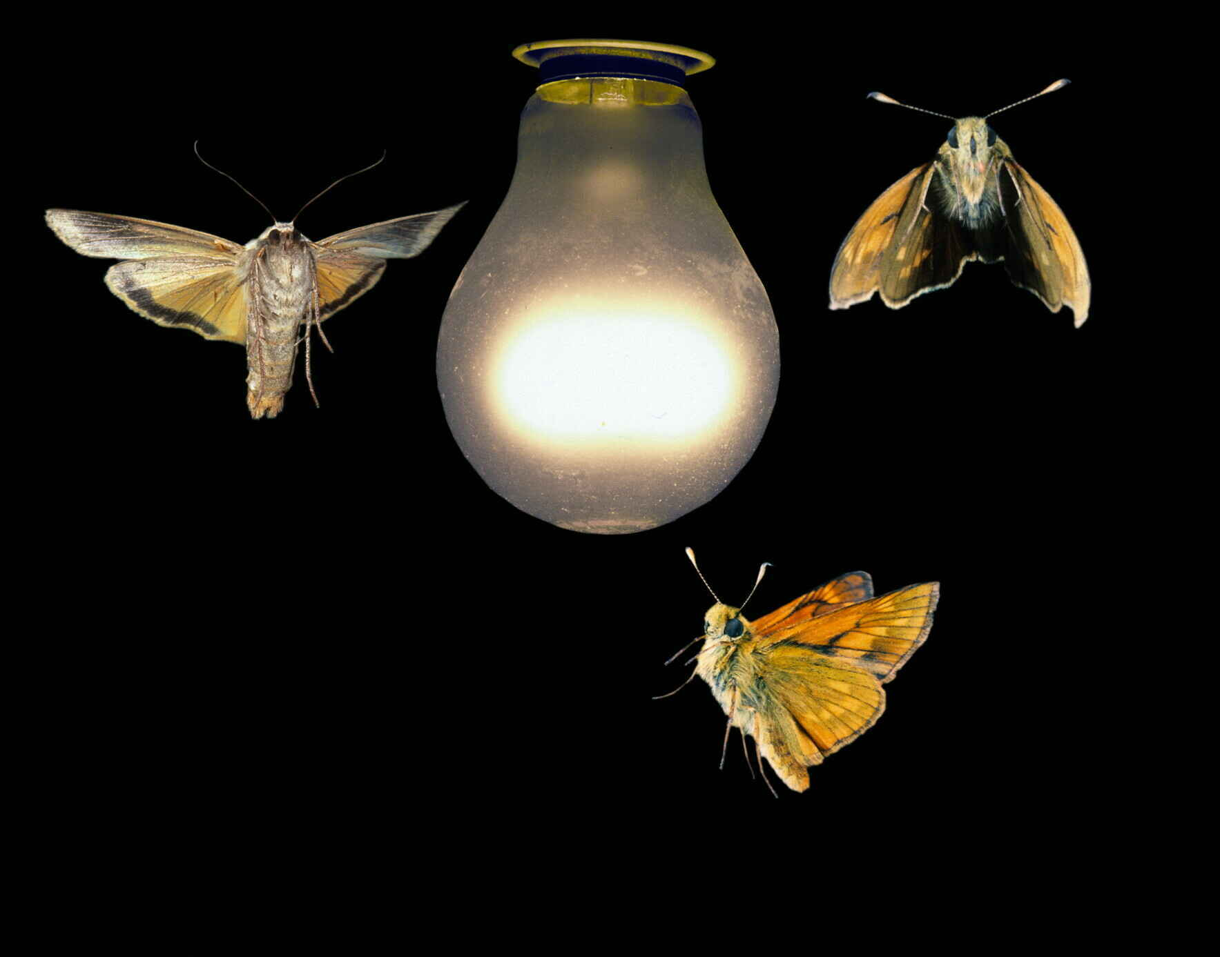 Effects of Artificial Lighting on Pollinator Networks: Zoom workshop with Bryan Tompkins image