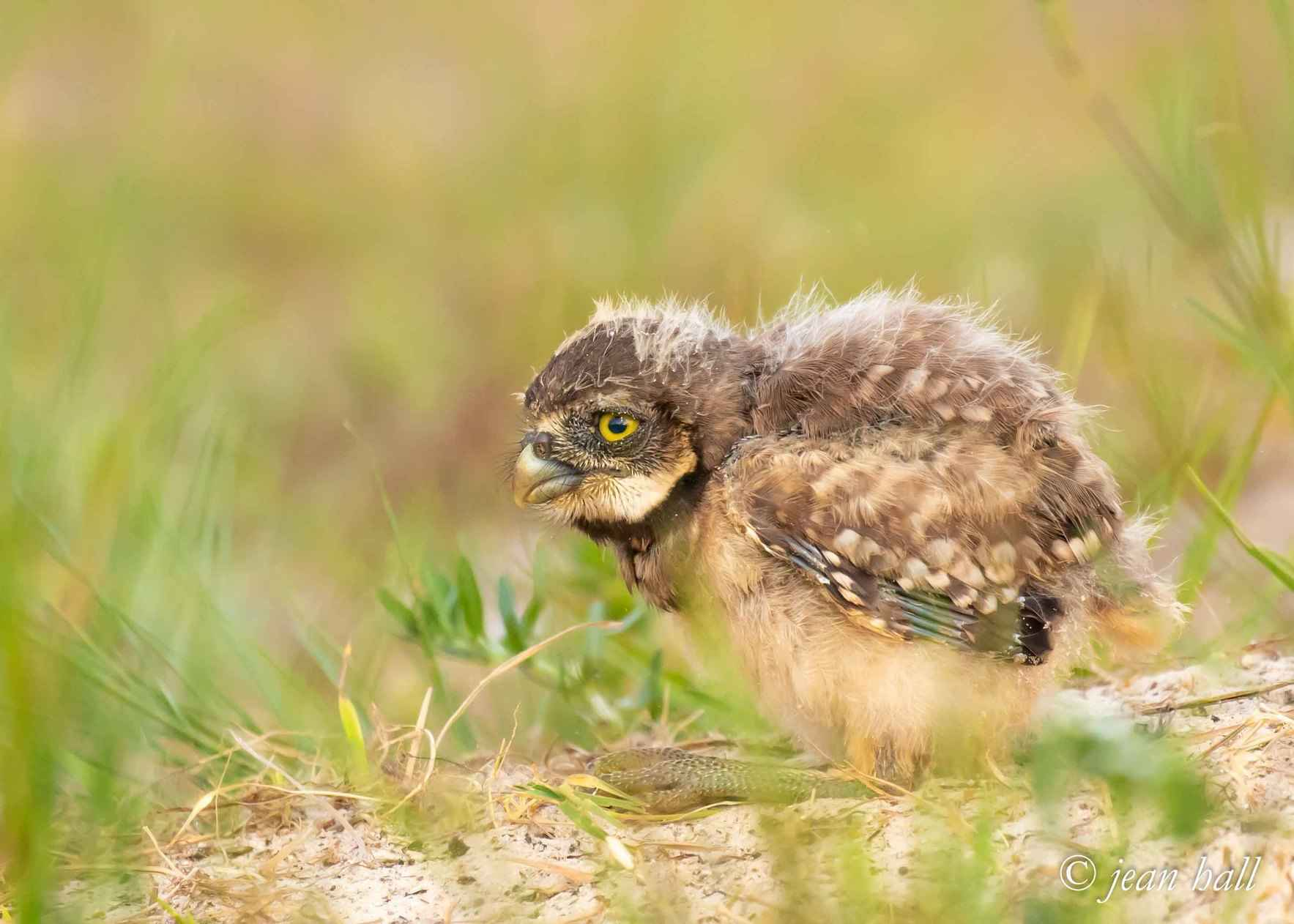 Burrowing Owl Class of 2018: Spectacular Nesting Results on Marco Island image
