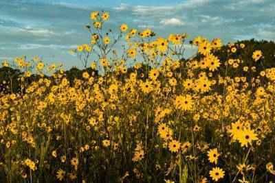 NEW, Pepper Ranch Sunflower Walk  image