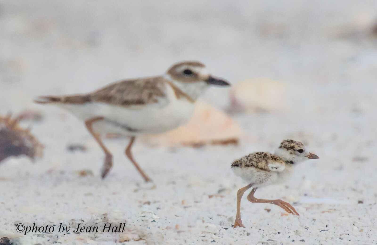 Tigertail Beach Nesting Shorebirds image