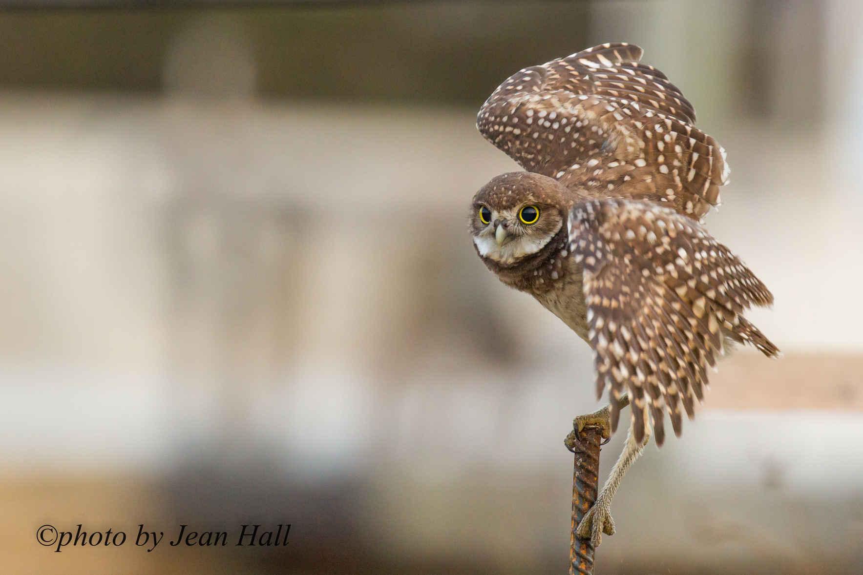Marco's Burrowing Owls Need Good Homes image