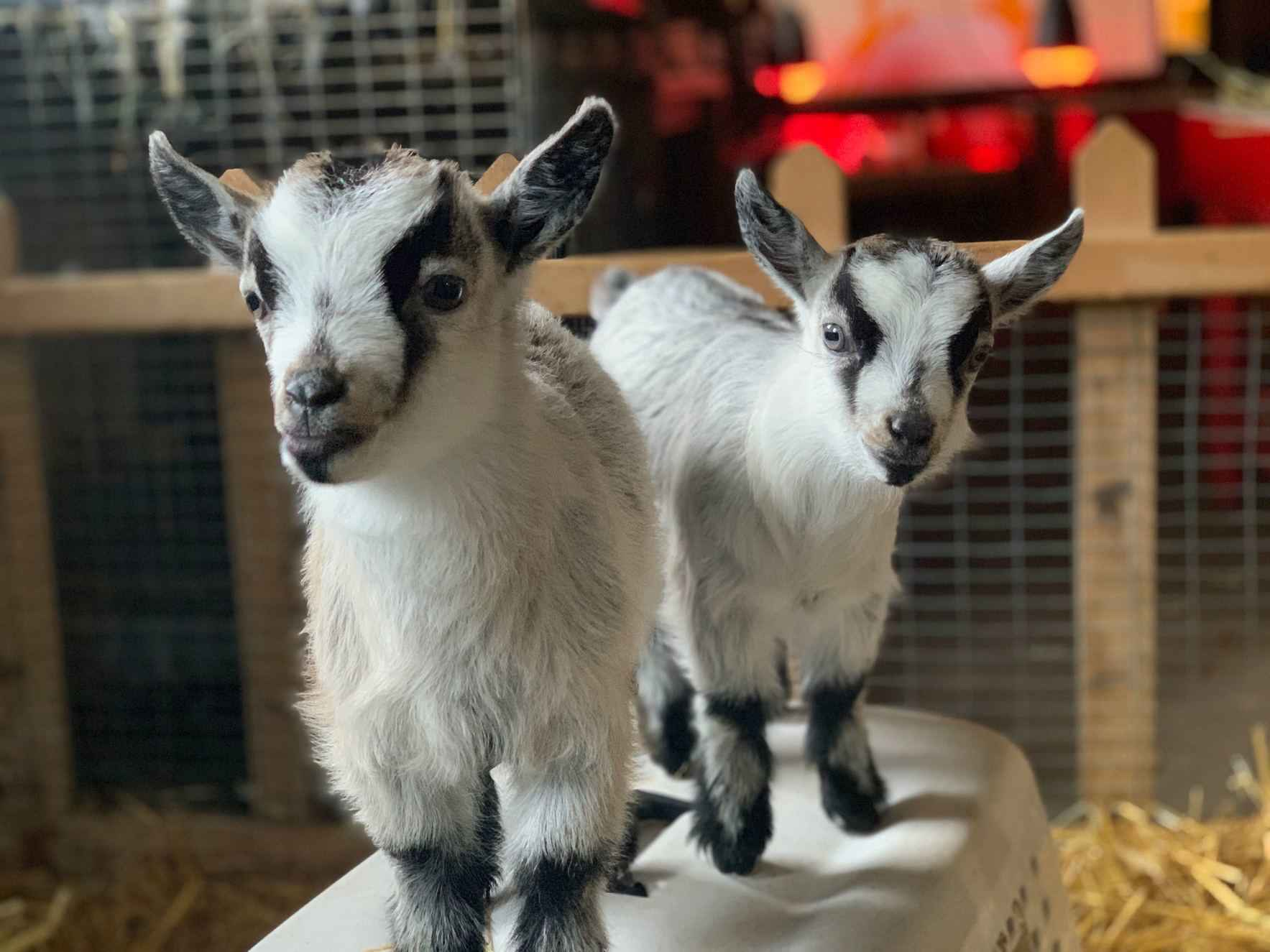 Care for our Goats! image