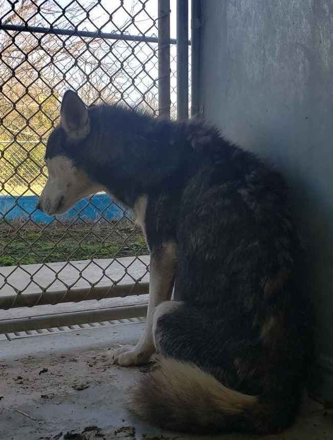Husky Dogs Seized from Neglect Situation image