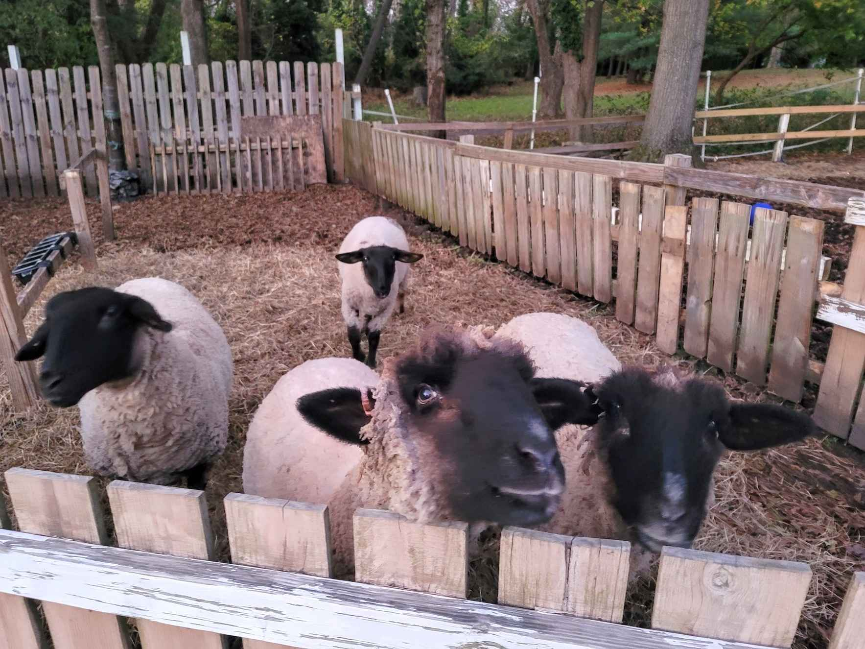 Care for our sanctuary sheep image