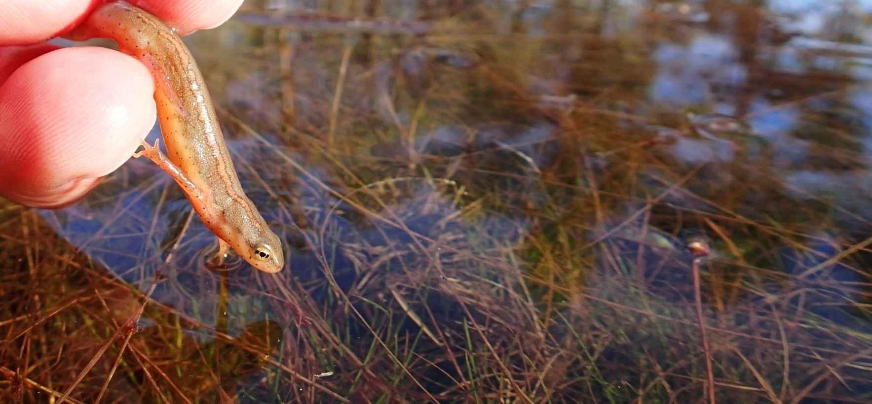 Adopt a Newt! image