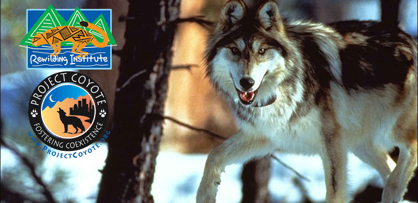 Help us protect carnivores and the Rewilding Institute Board will DOUBLE your donation! image