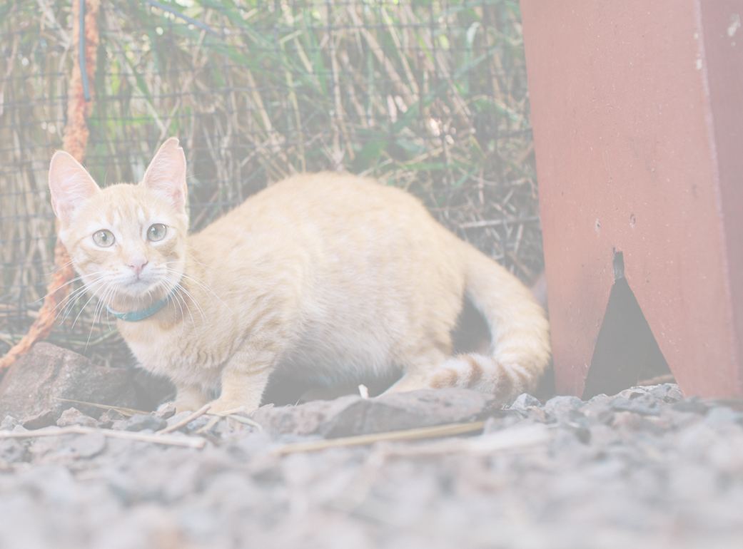 Cats urgently in need of rescue on remote island of Lanai  image