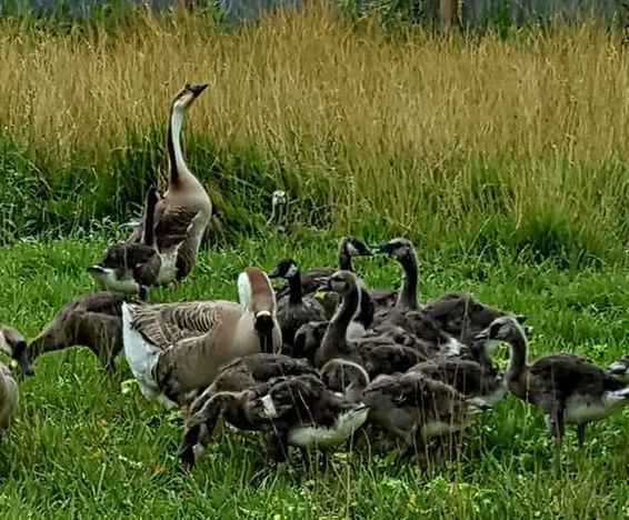 """Geese say:  """"Honk if you can sponsor us!"""" image"""