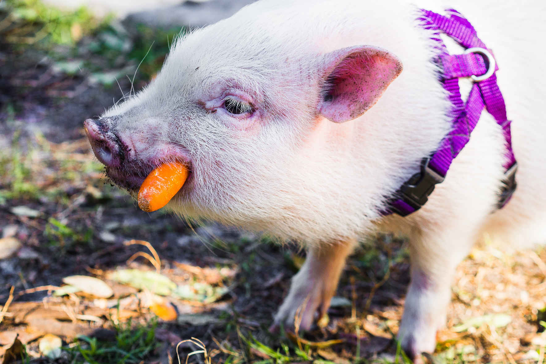 Become a Platinum Pig Member Today and be a SUPERHERO to Rescued Animals!! image