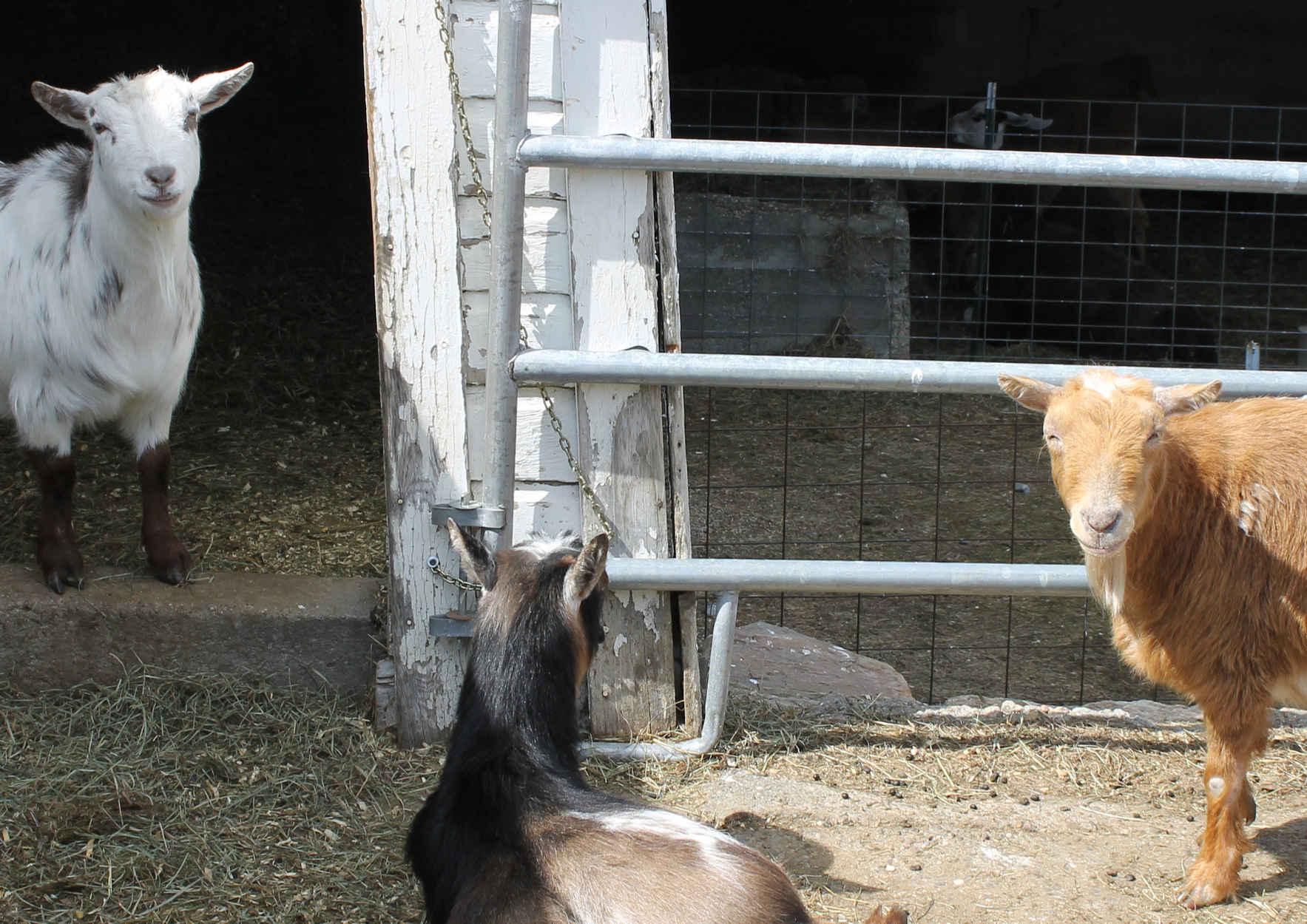 Sponsor a Goat image