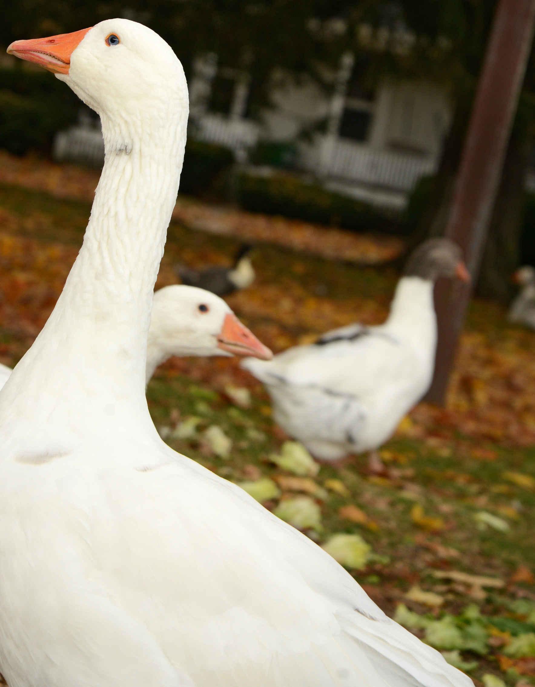 Sponsor a chicken, goose, or turkey image