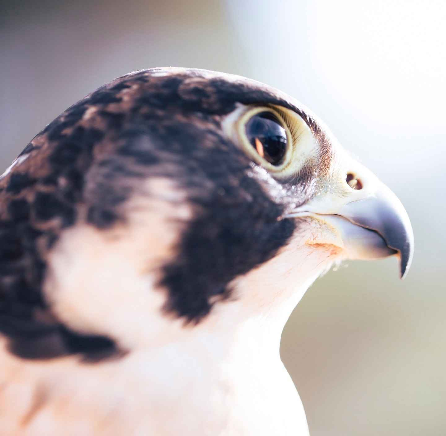 Donate today to help birds of prey image
