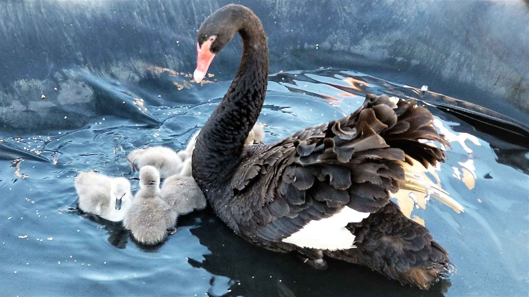 Ginny Swan and babies  image