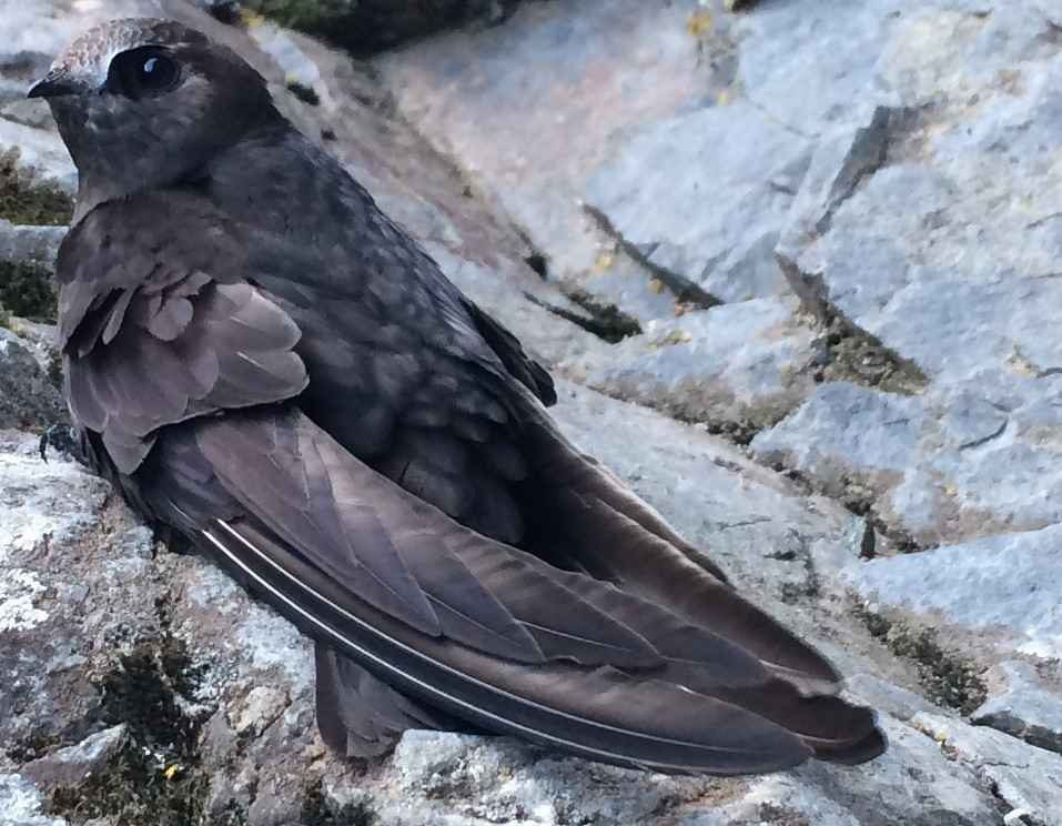 Can you help Black Swifts? image