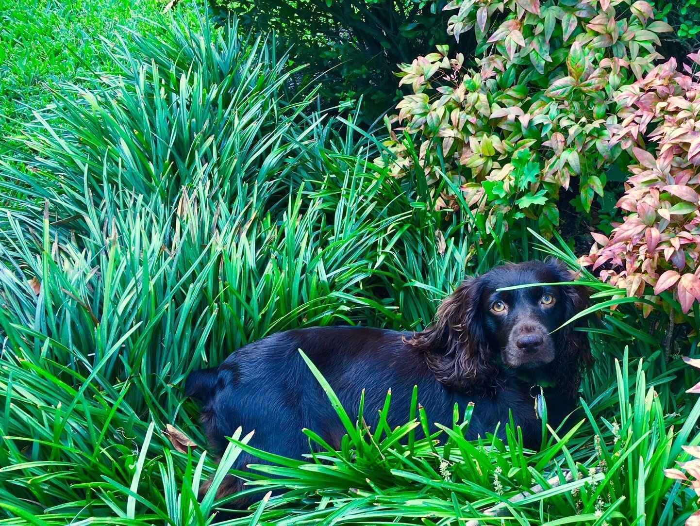 Donate to Boykin Spaniel Rescue, Inc. image