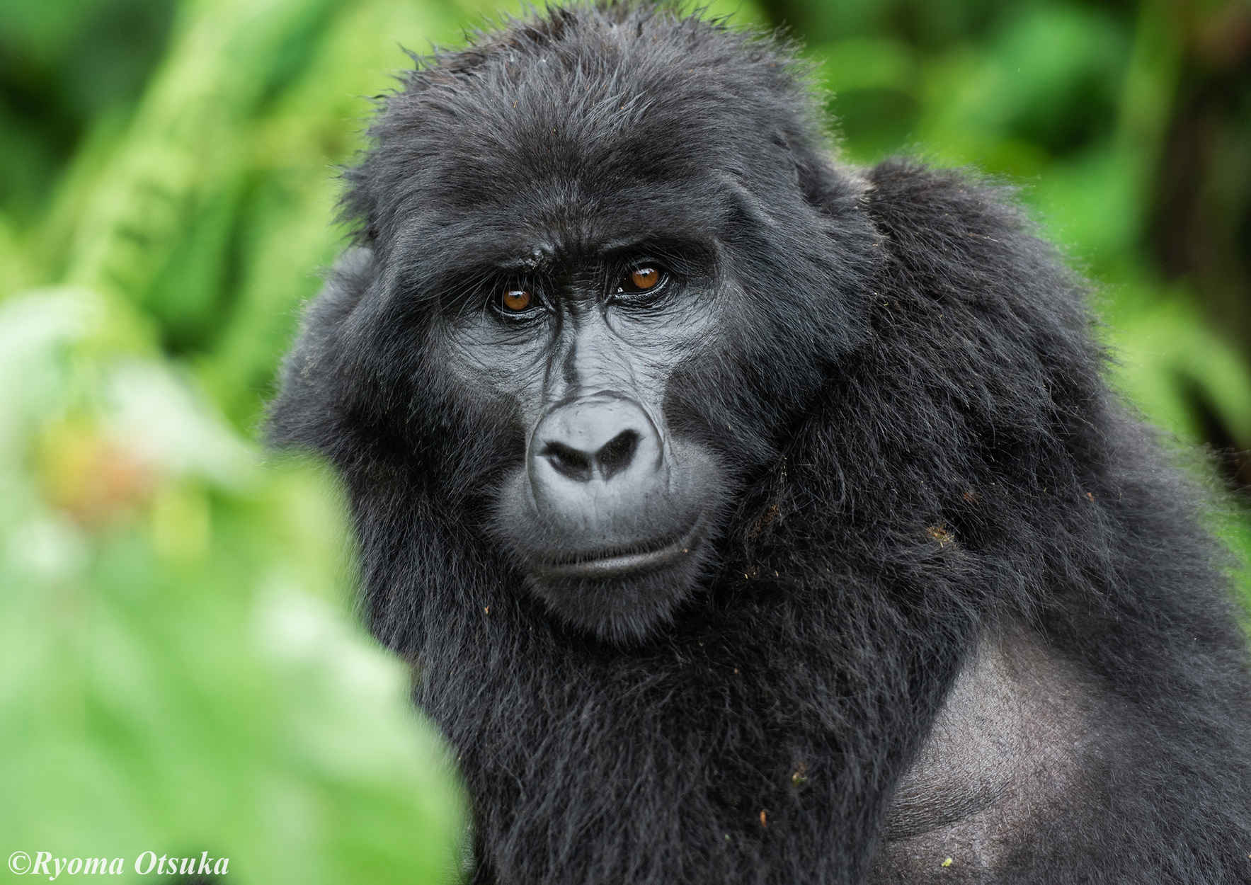 Please help us save the world's remaining mountain gorillas! image