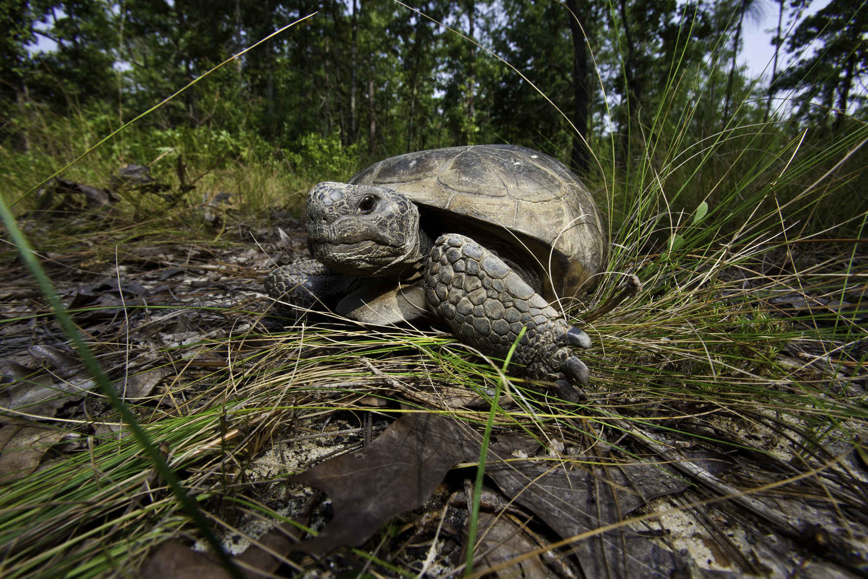 Give Today to Protect Georgia's Gopher Tortoise image