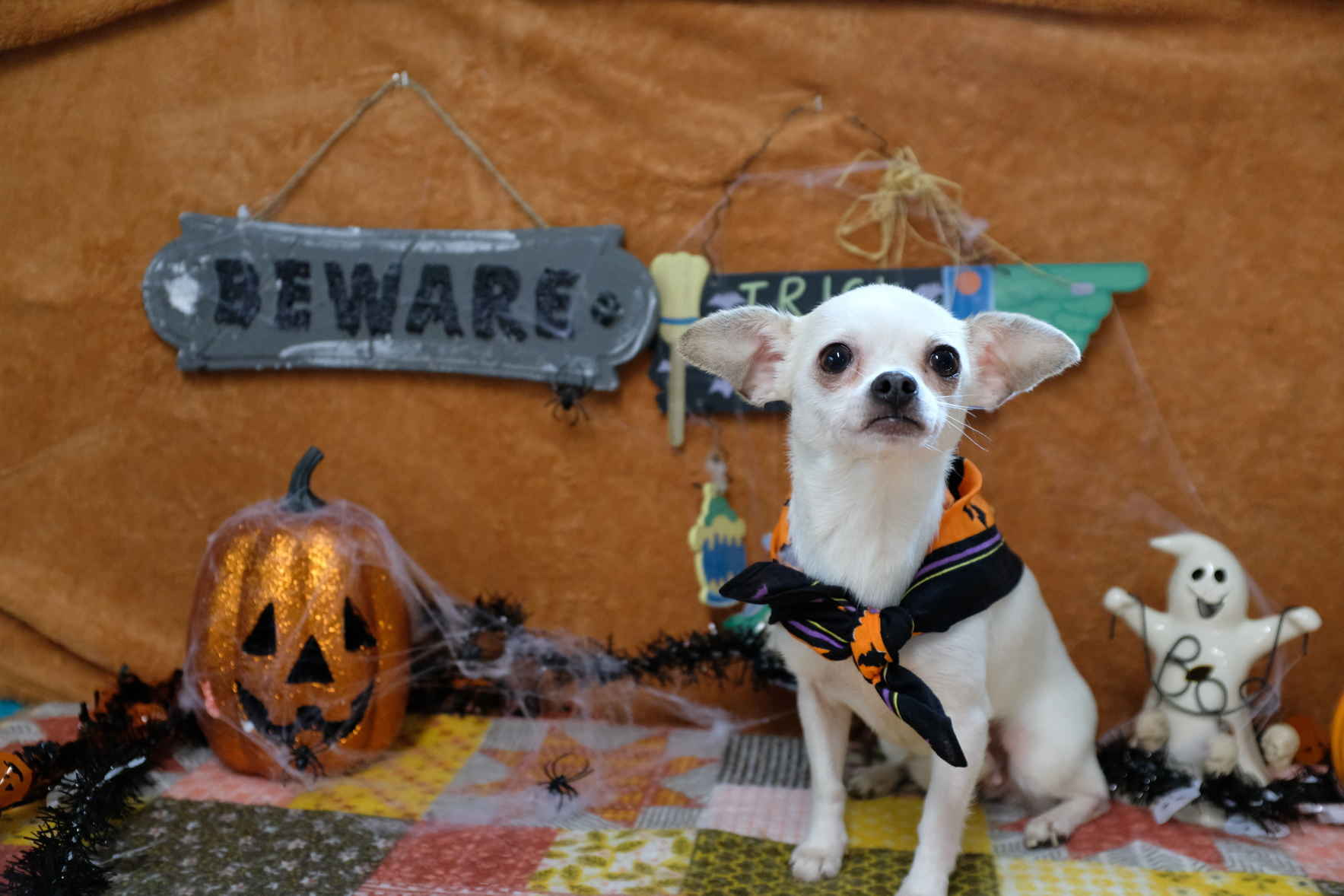 TEXAS CHIHUAHUA RESCUE INC - 2019 - Helping small dogs live