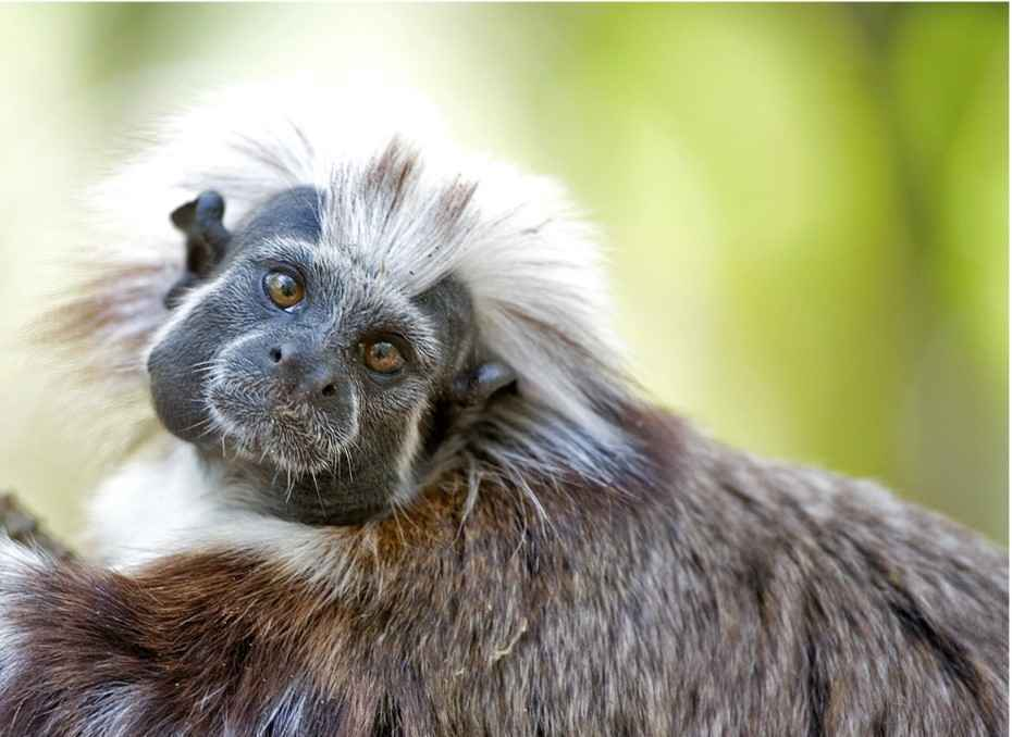 Donate Today to Save Cotton-top Tamarins! image