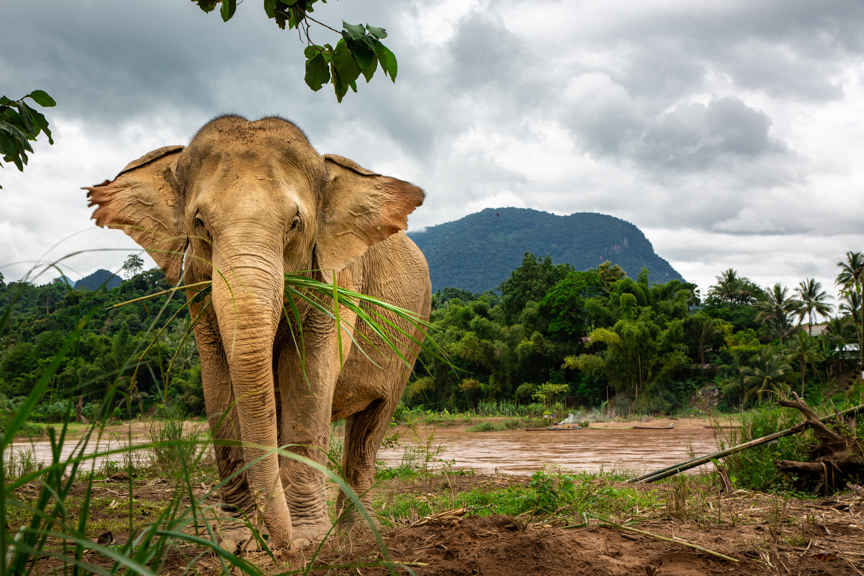 Donate to Lao Elephant Initiative  image