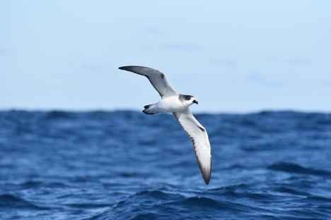 Donate to help conserve endemic petrels on Selkirk Island, Chile image