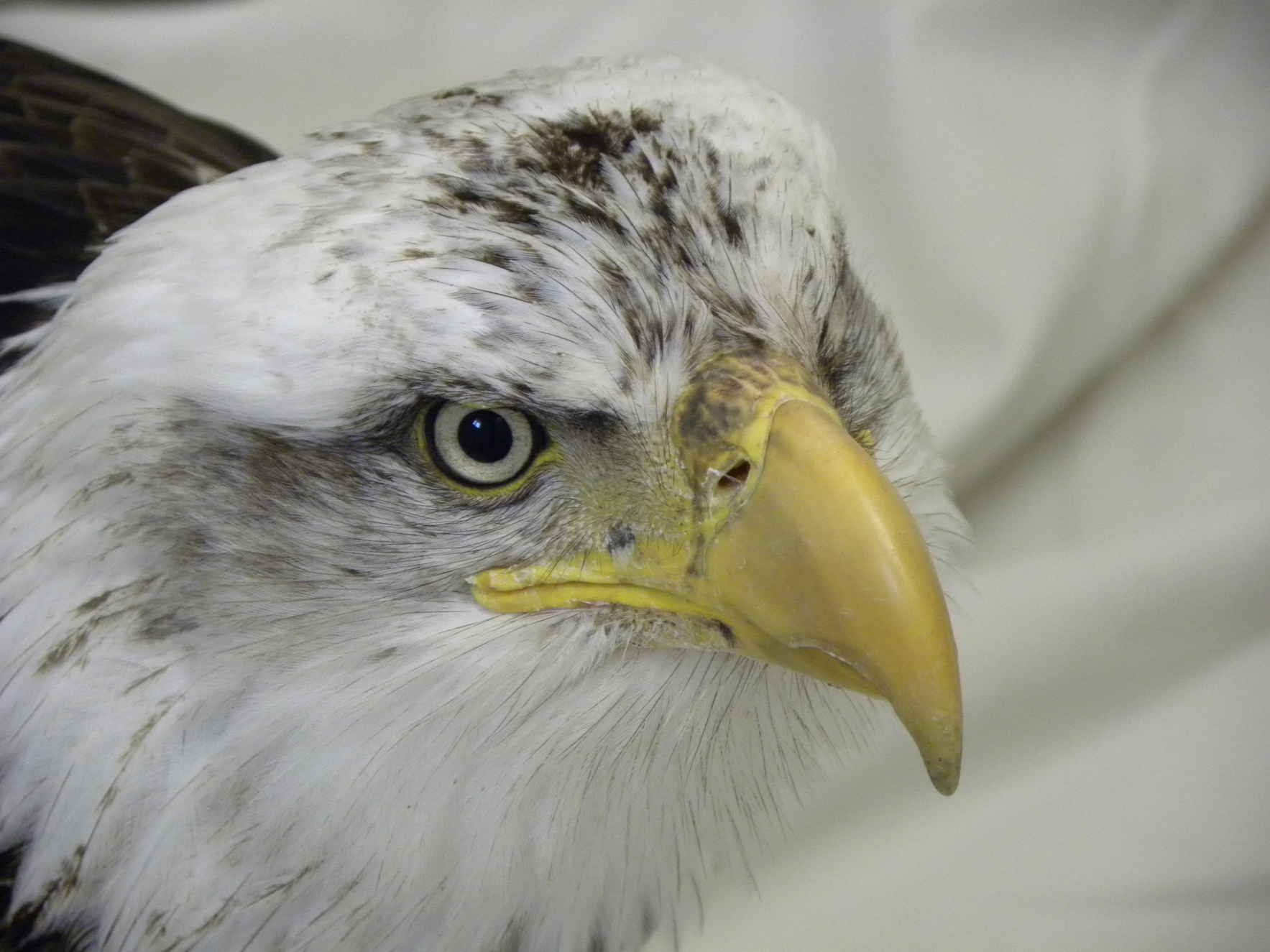 Our National Bird needs your help image