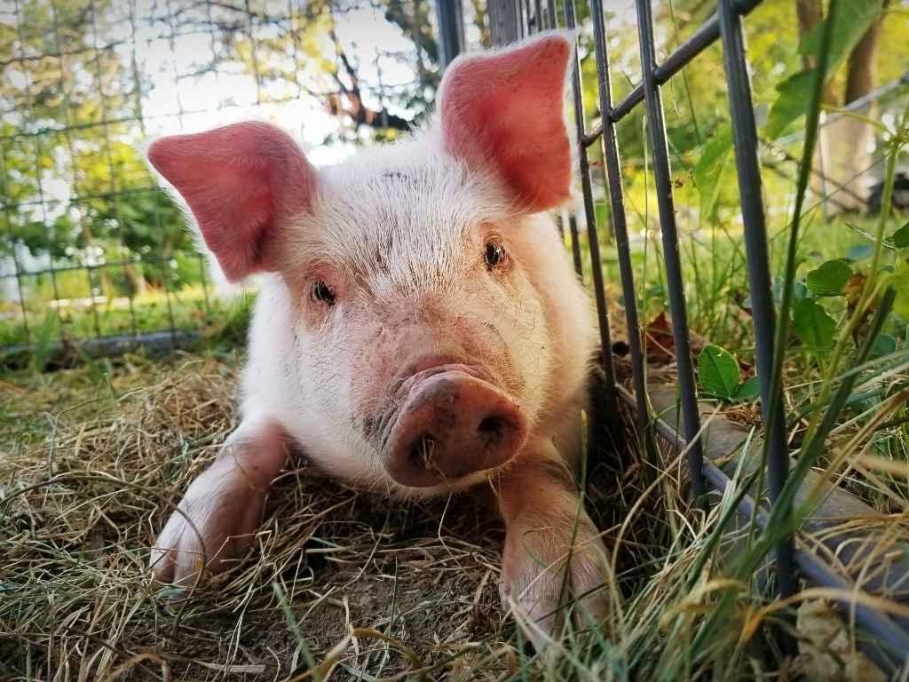 Saving Shirley the butcher pig image