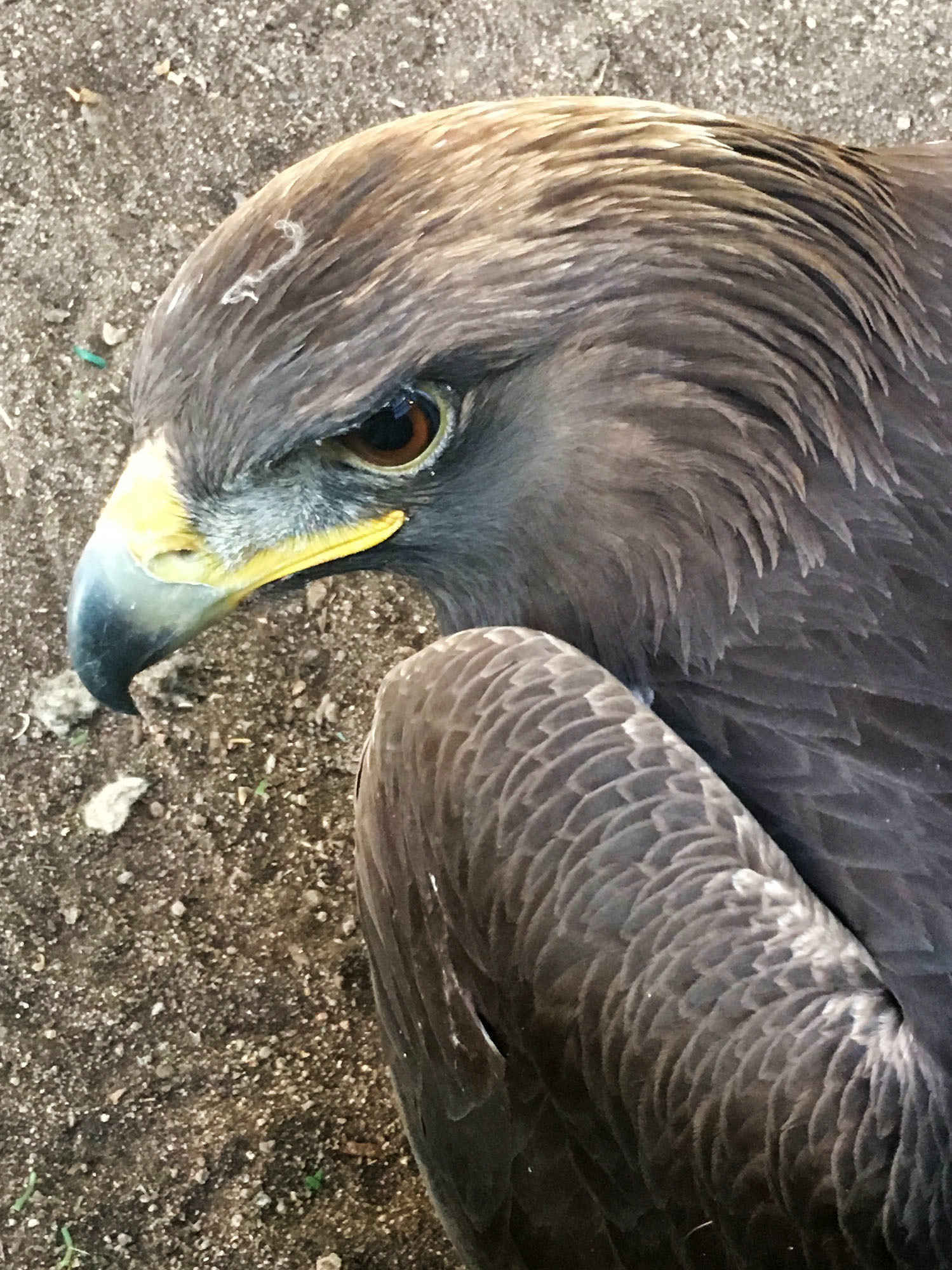 Donate Now to Help Oro, a West Nile Virus Infected Golden Eagle image