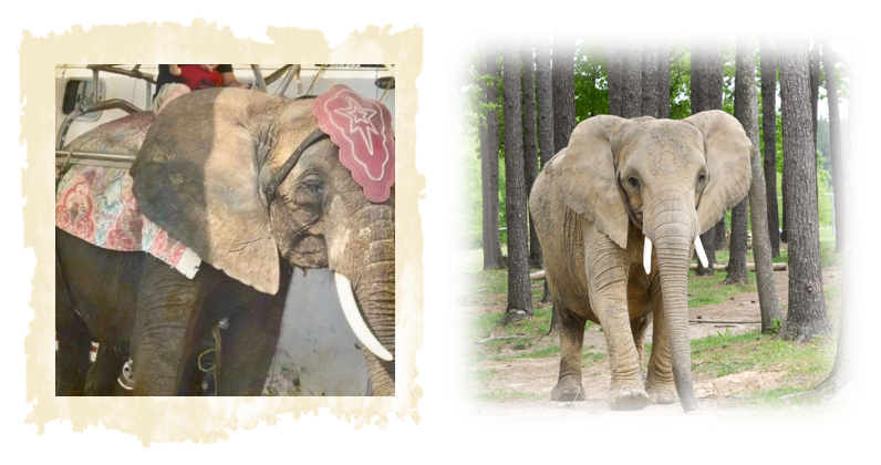 Please donate to help FACE get suffering, captive elephants to true sanctuary image