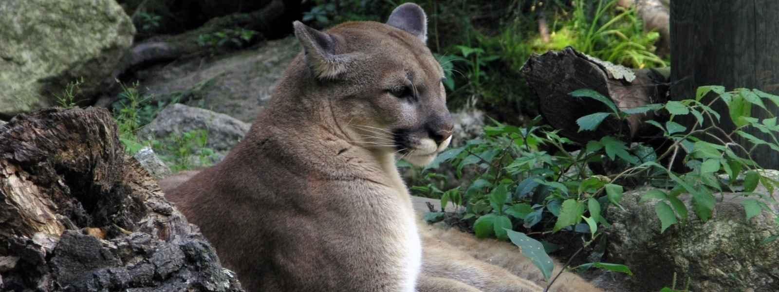 Help Save America's Lions image
