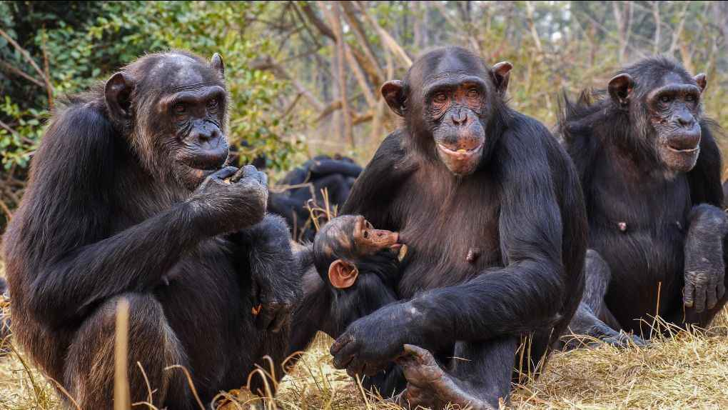 Donate now to Support the Chimpanzees at the Chimfunshi Wildlife Orphanage Trust in Zambia image