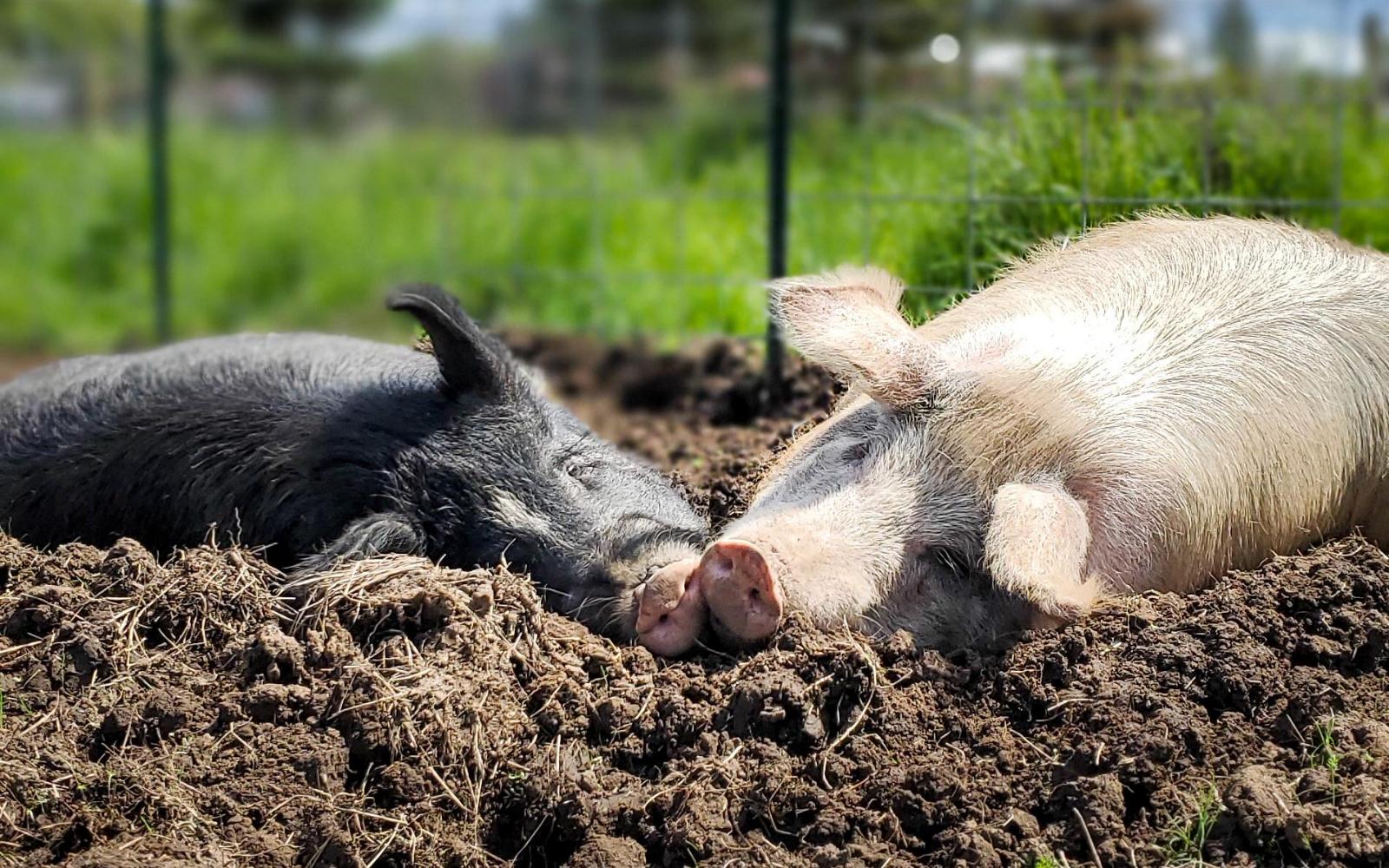 SPONSOR A PIG image