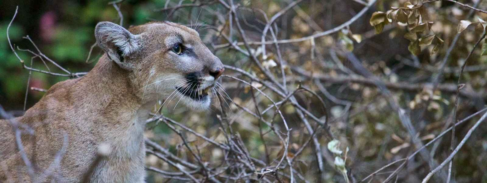 Save California's Mountain Lions image